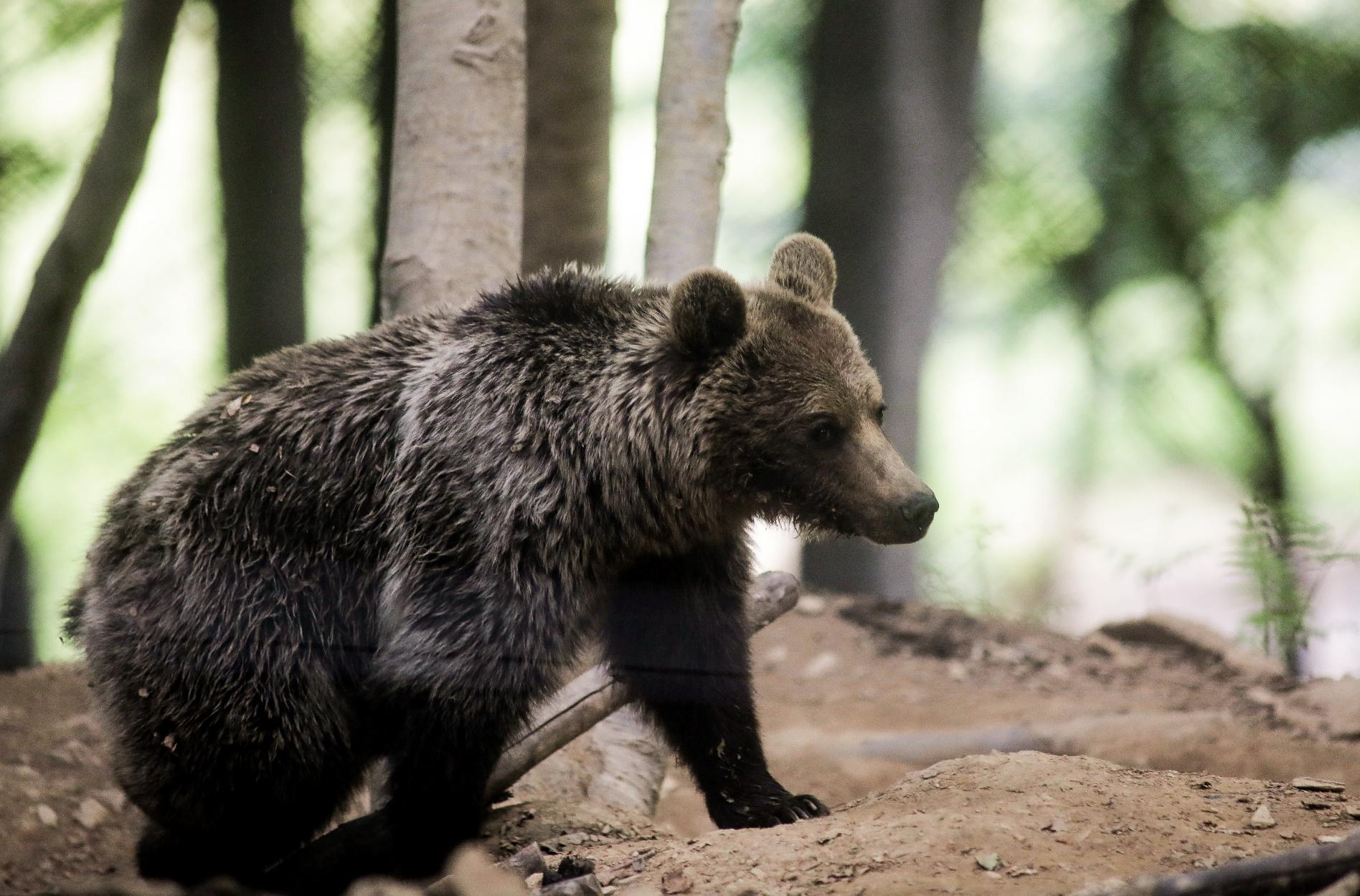 Κοζάνη: Ιππασία τρόμου! Αρκούδα πήρε στο κυνήγι άλογο και αναβάτη στην Πτολεμαΐδα!