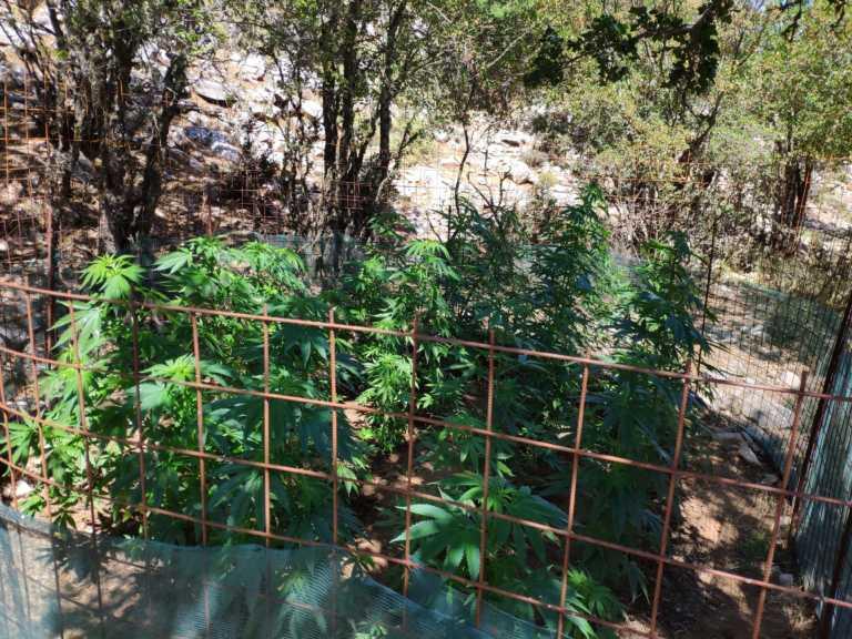 Ρέθυμνο: Βρήκαν τις χασισοφυτείες και ψάχνουν τους καλλιεργητές