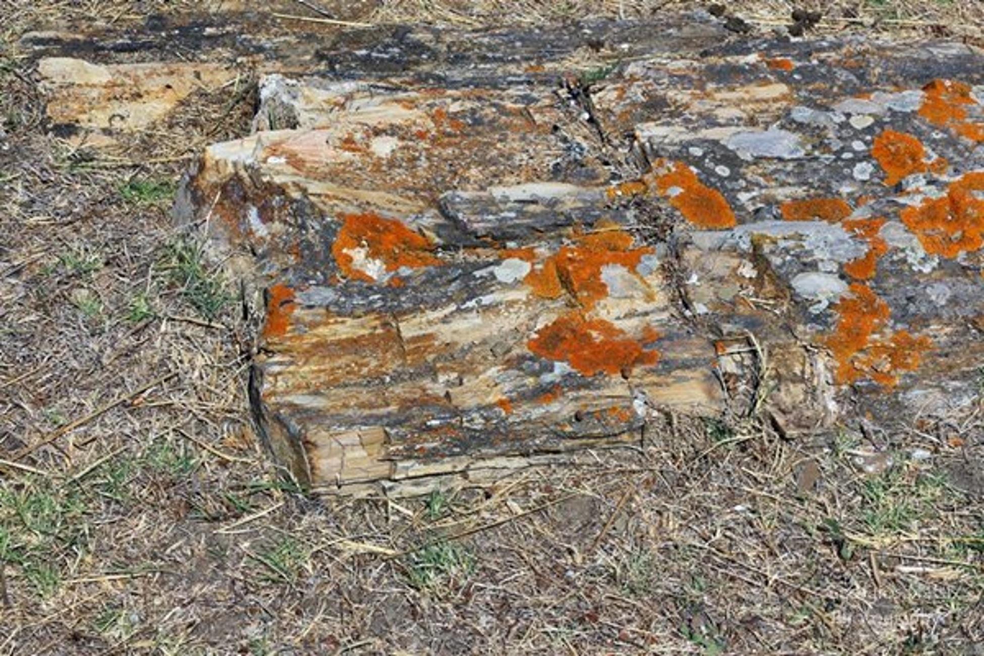 Λήμνος: Αυτός είναι ο γιγαντιαίος κορμός απολιθωμένου δέντρου 20 εκατομμυρίων χρόνων! Έκπληκτοι οι επιστήμονες (Φωτό)