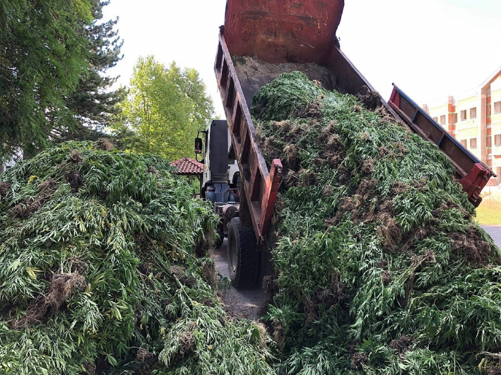 Δάσος από… 14.000 δενδρύλλια χασίς βρέθηκε σε ορεινή περιοχή στα Γρεβενά