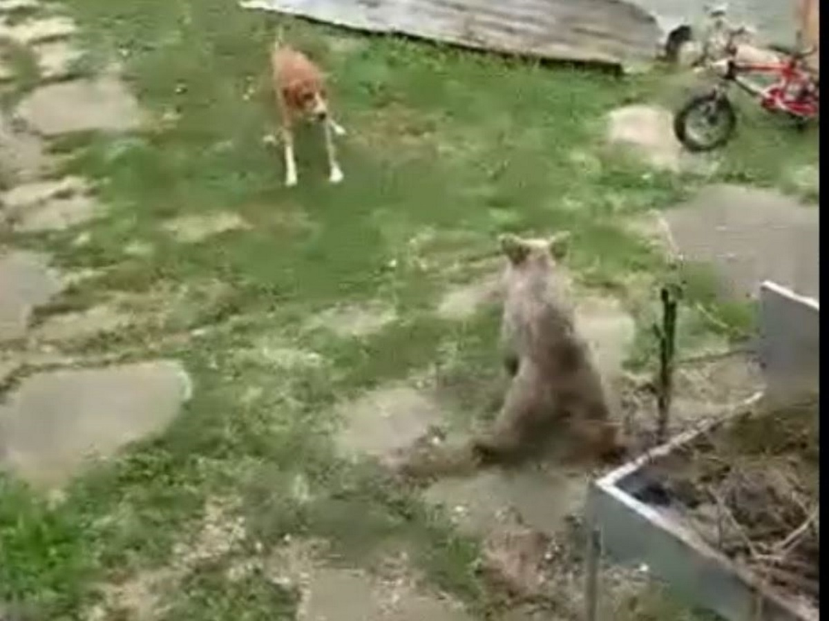 Αρκουδάκι μπήκε σε αυλή σπιτιού στην Κοζάνη – Πώς αντέδρασε ο σκύλος (video)