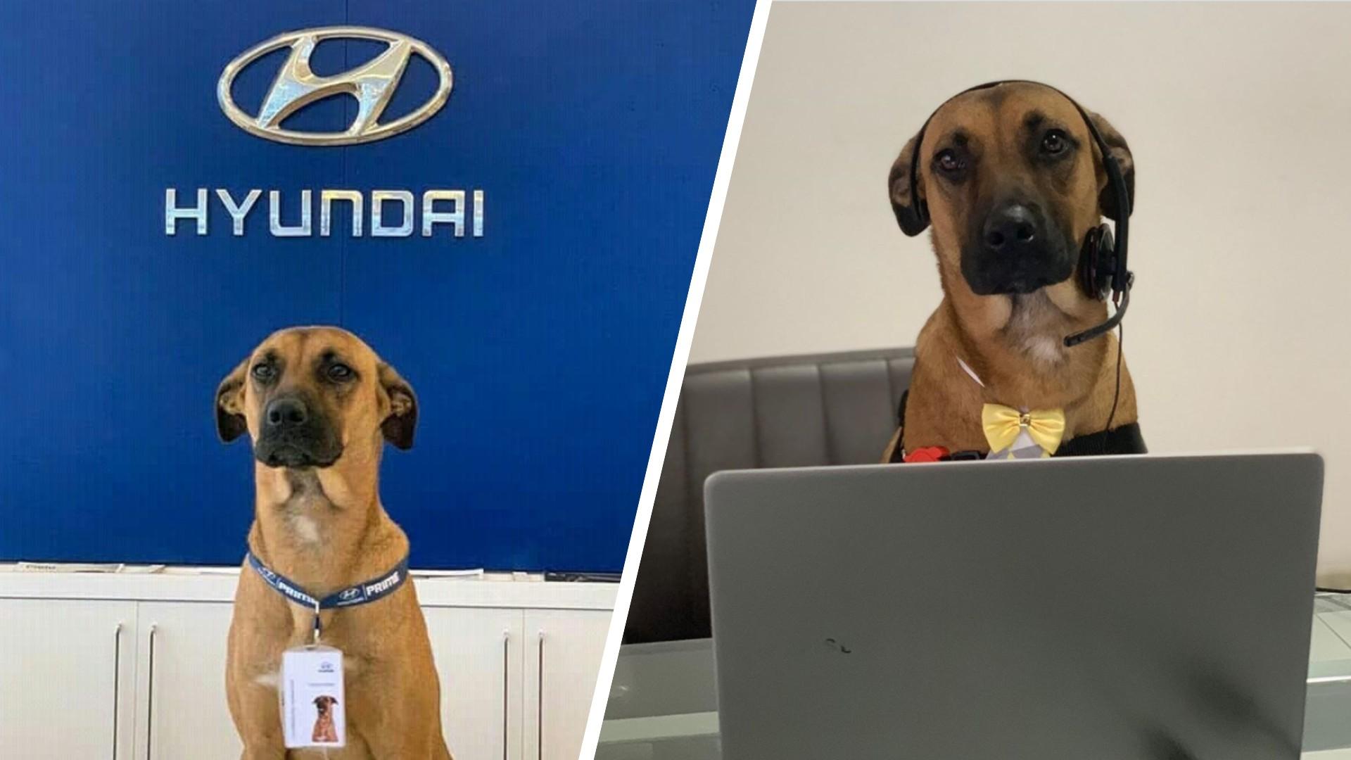 Σκύλος βρίσκει δουλειά σε αντιπροσωπεία αυτοκινήτων
