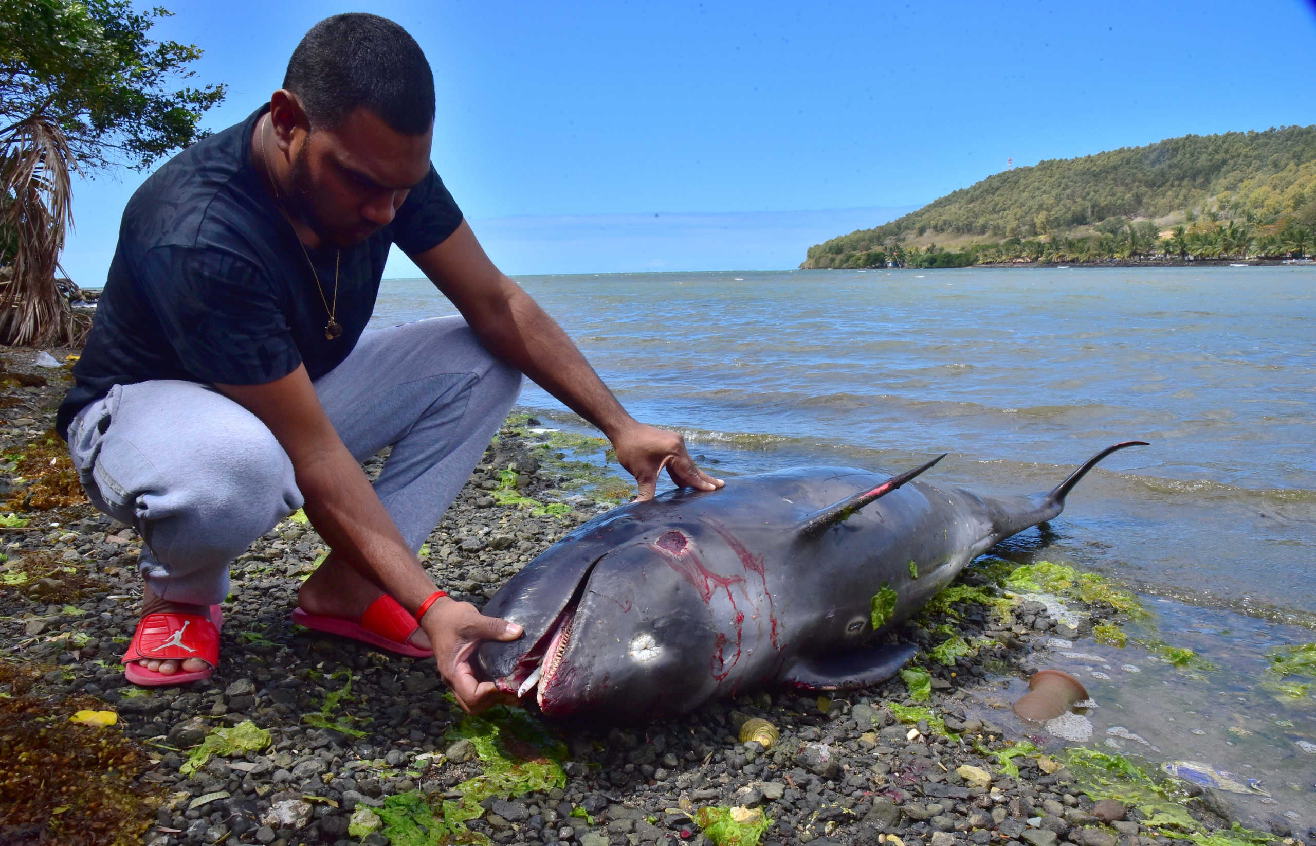 Μαυρίκιος: Τα 38 έφτασαν τα δελφίνια που ξεβράστηκαν μετά την πετρελαιοκηλίδα από ιαπωνικό φορτηγό πλοίο