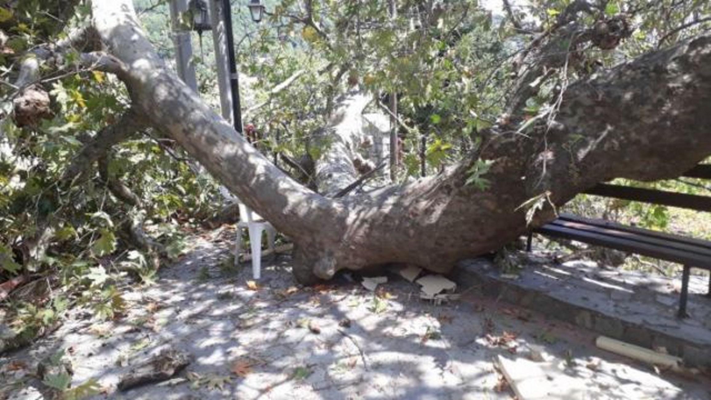 Φθιώτιδα: Τεράστιος πλάτανος κατέρρευσε στην πλατεία χωριού της Μακρακώμης (Φωτό)