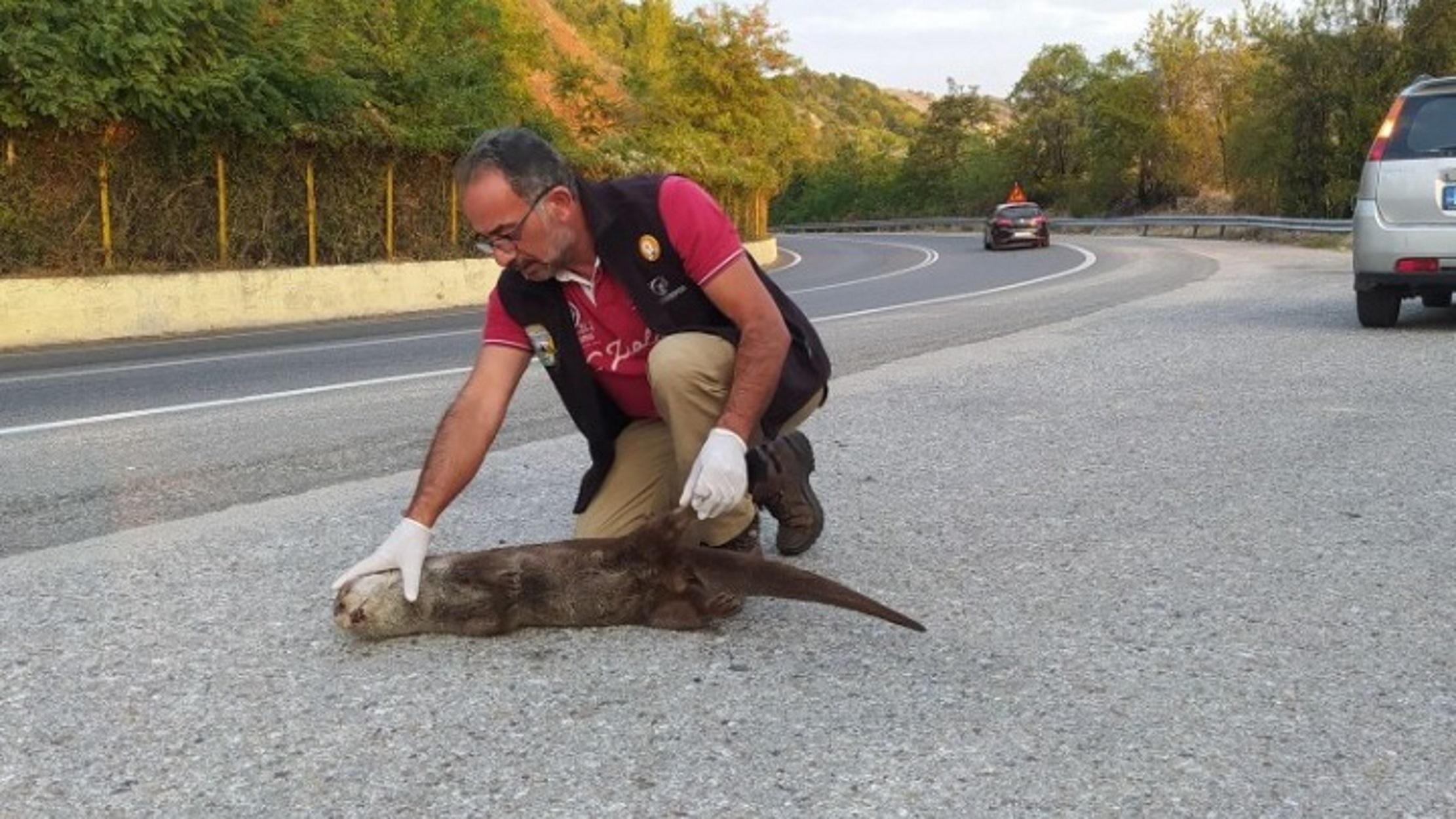 Καστοριά: Νεκρή βίδρα στη μέση της ασφάλτου (pic)