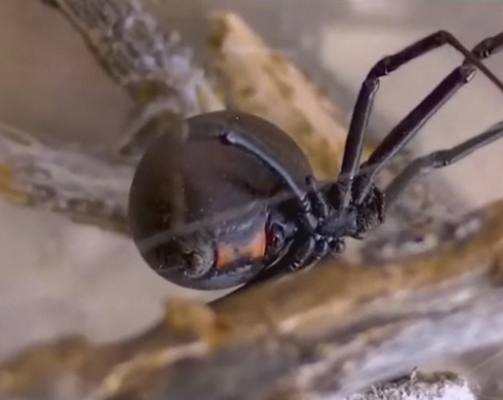 """Πάτρα: Παραμένει στην εντατική μετά το τσίμπημα """"μαύρης χήρας""""! Μάχη με το χρόνο για το δηλητήριο της αράχνης"""