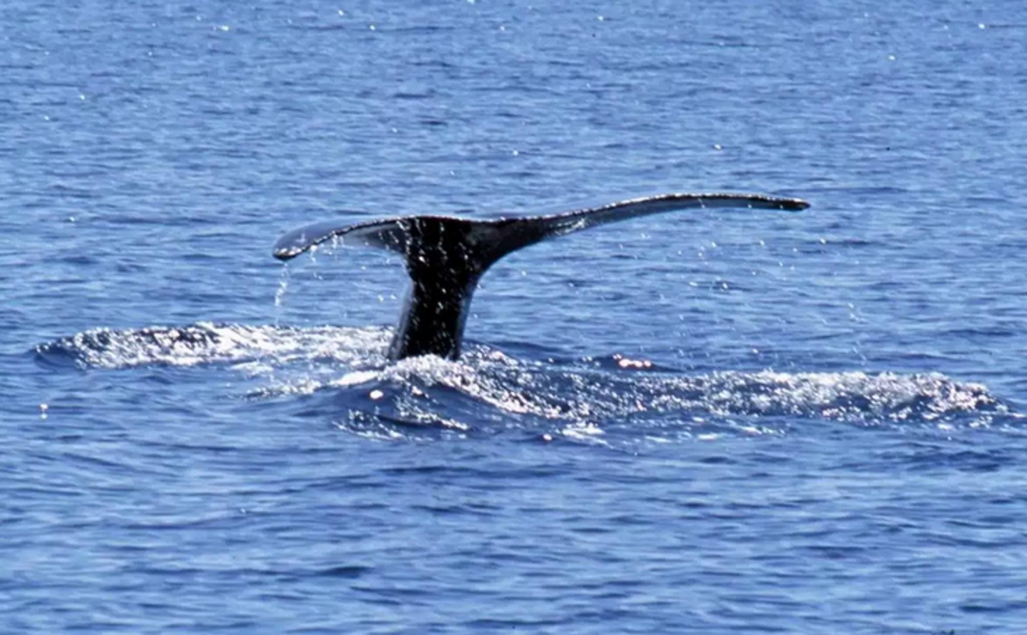 Λακωνία: Αυτή ήταν η εξήγηση για τον ξαφνικό κυματισμό της θάλασσας! Στην κάμερα η τεράστια φάλαινα (Βίντεο)