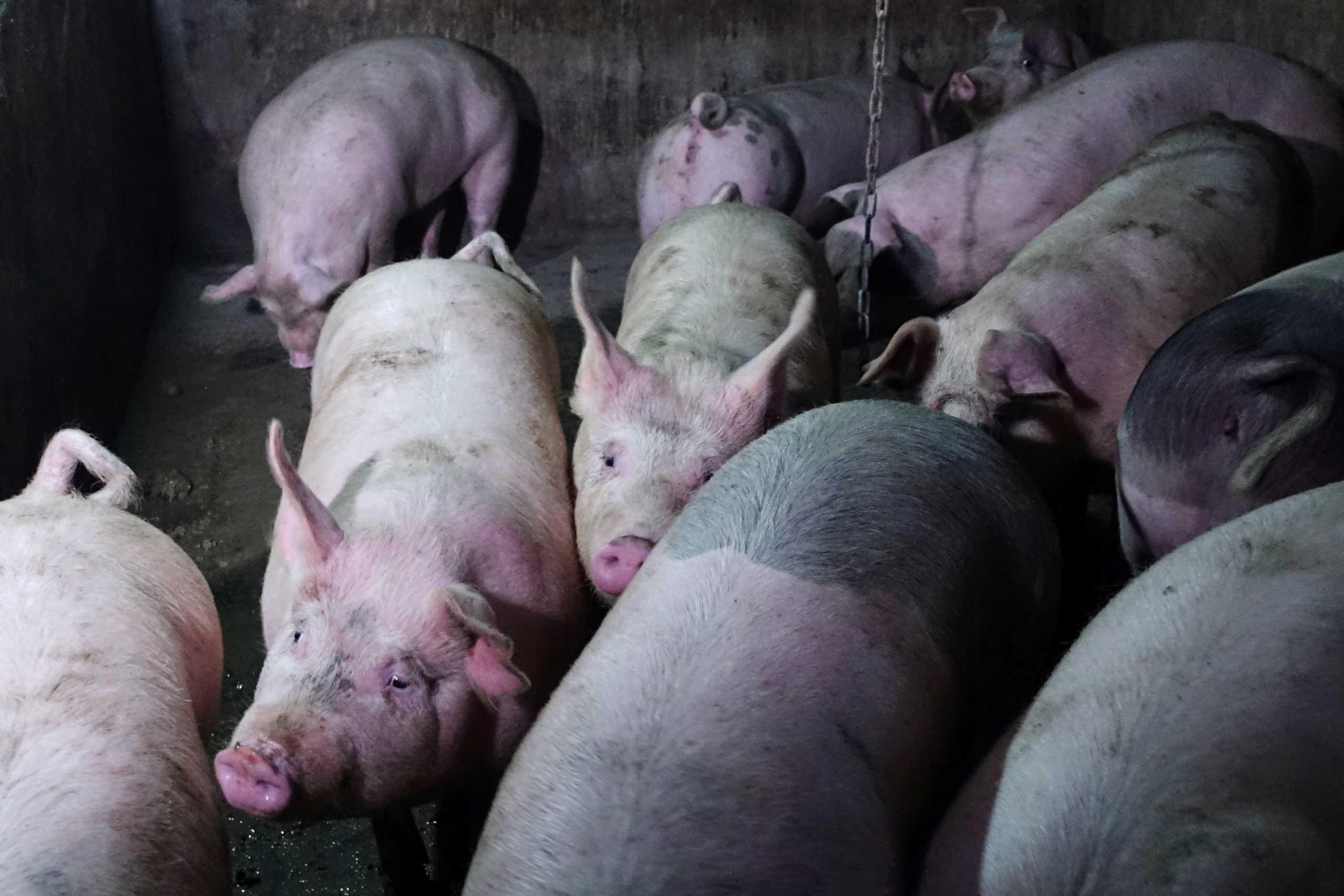Πεκίνο: Στα ύψη το χοιρινό κρέας εν όψει κινεζικής Πρωτοχρονιάς και της γιορτής της Άνοιξης