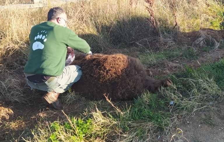 Αρκούδα 250 κιλών σκοτώθηκε σε τροχαίο στην Καστοριά