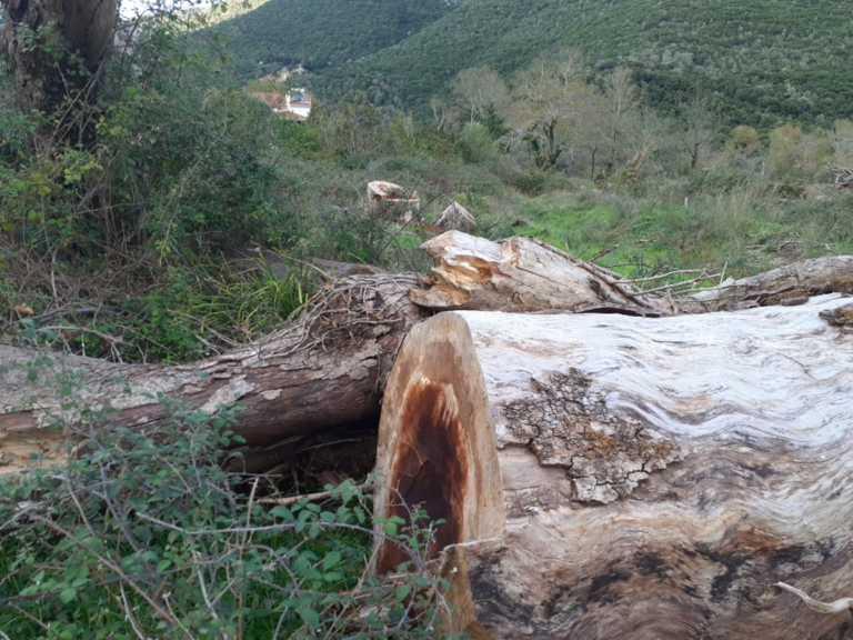 Ιωάννινα: Ένας μύκητας καταστρέφει δάση από πλατάνια