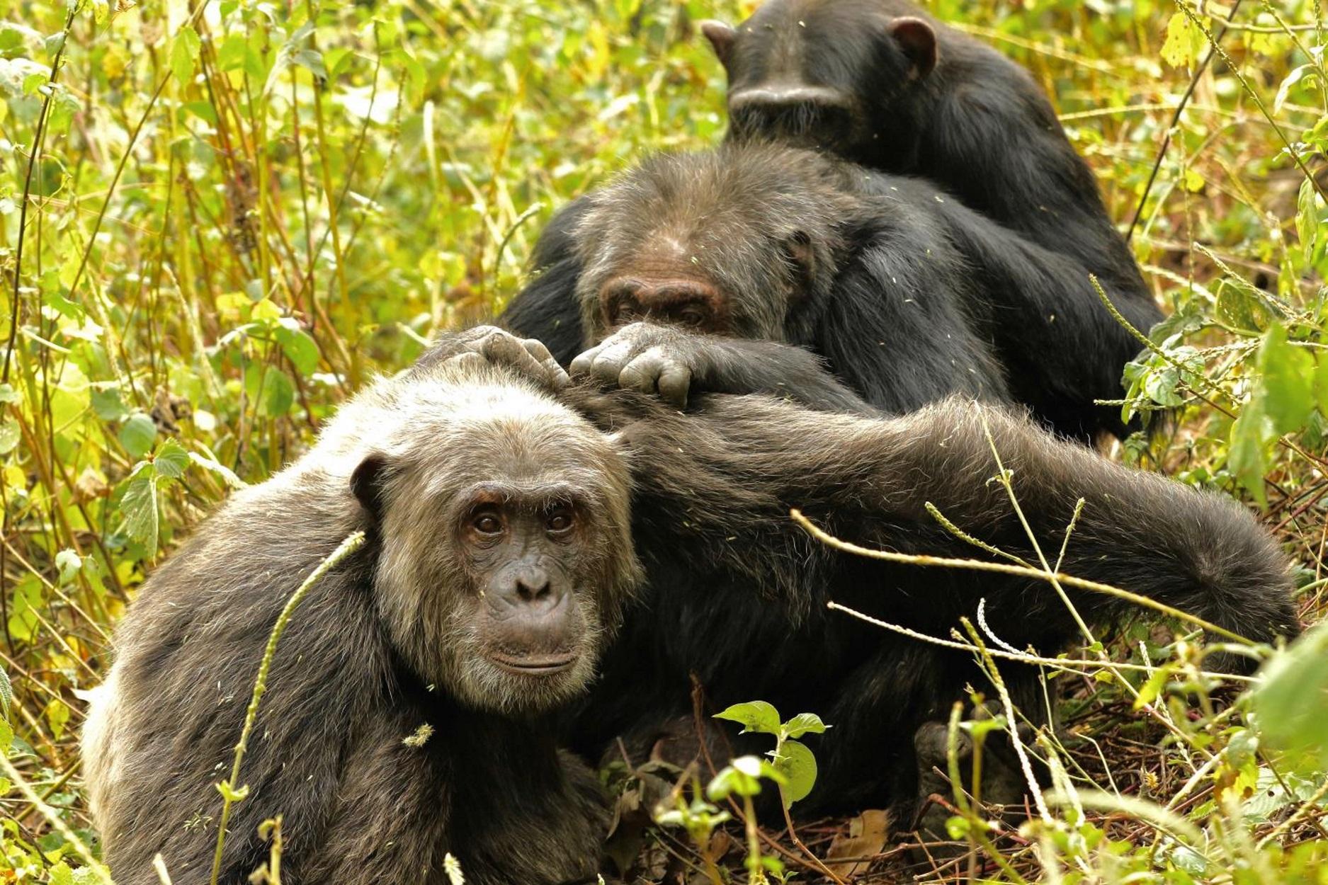Πολύ επιλεκτικοί στις φιλίες; Και οι χιμπατζήδες το ίδιο!