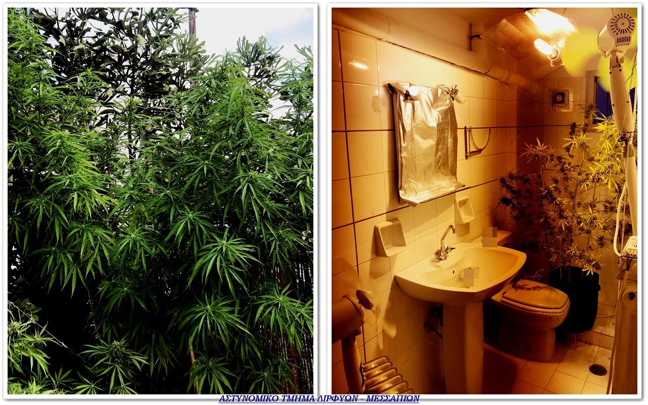 Καλλιεργούσε κάνναβη μέσα στην… τουαλέτα του! (video)