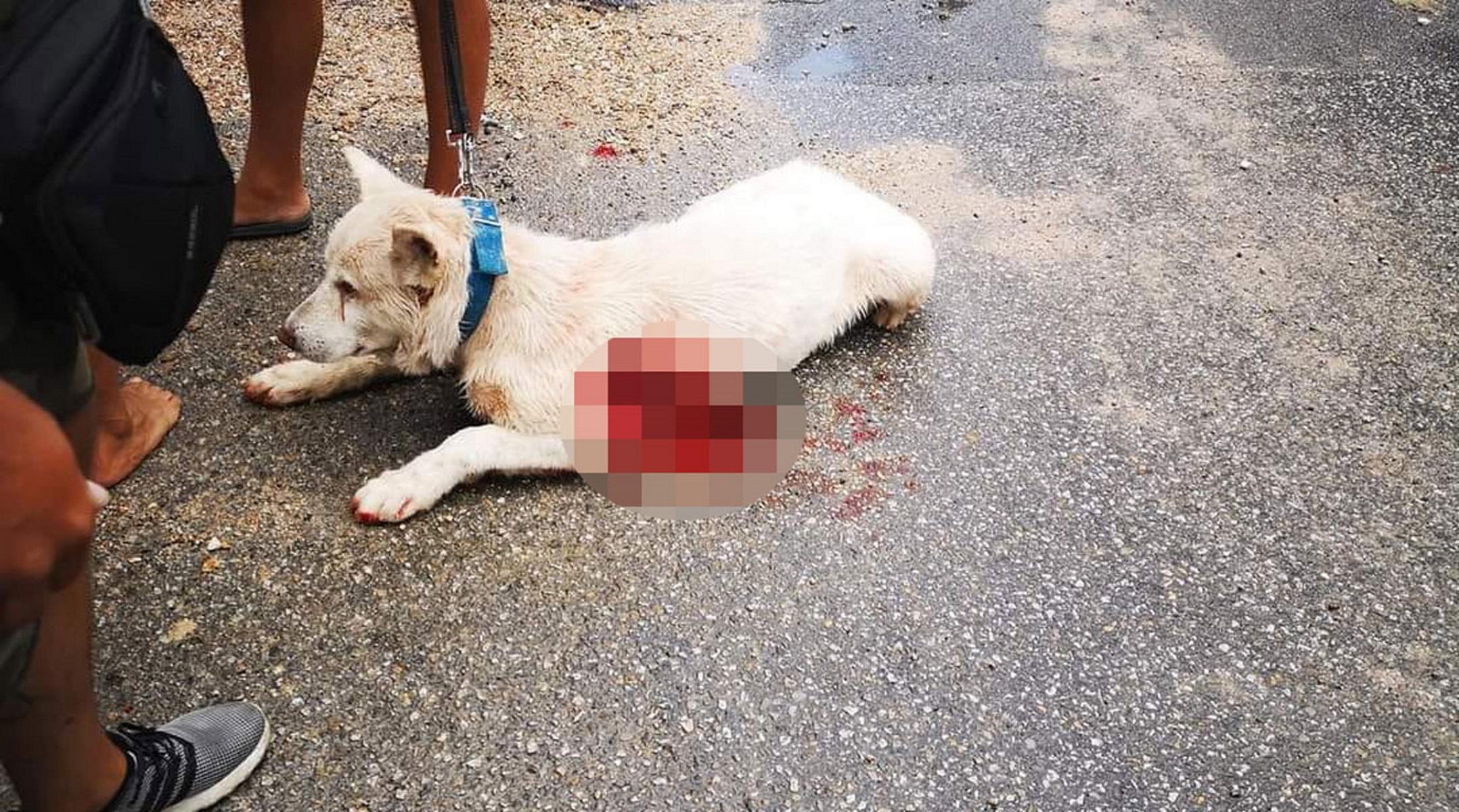 Τα κατάφερε ο Έκτορας! Ο σκύλος που μαχαιρώθηκε στη Νίκαια επιστρέφει στον ιδιοκτήτη του