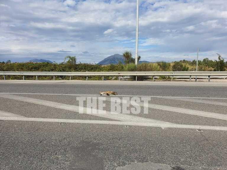 Πάτρα – Lockdown: Αλεπού πλήρωσε με τη ζωή της την είσοδο στην πόλη! Την παρέσυρε αυτοκίνητο