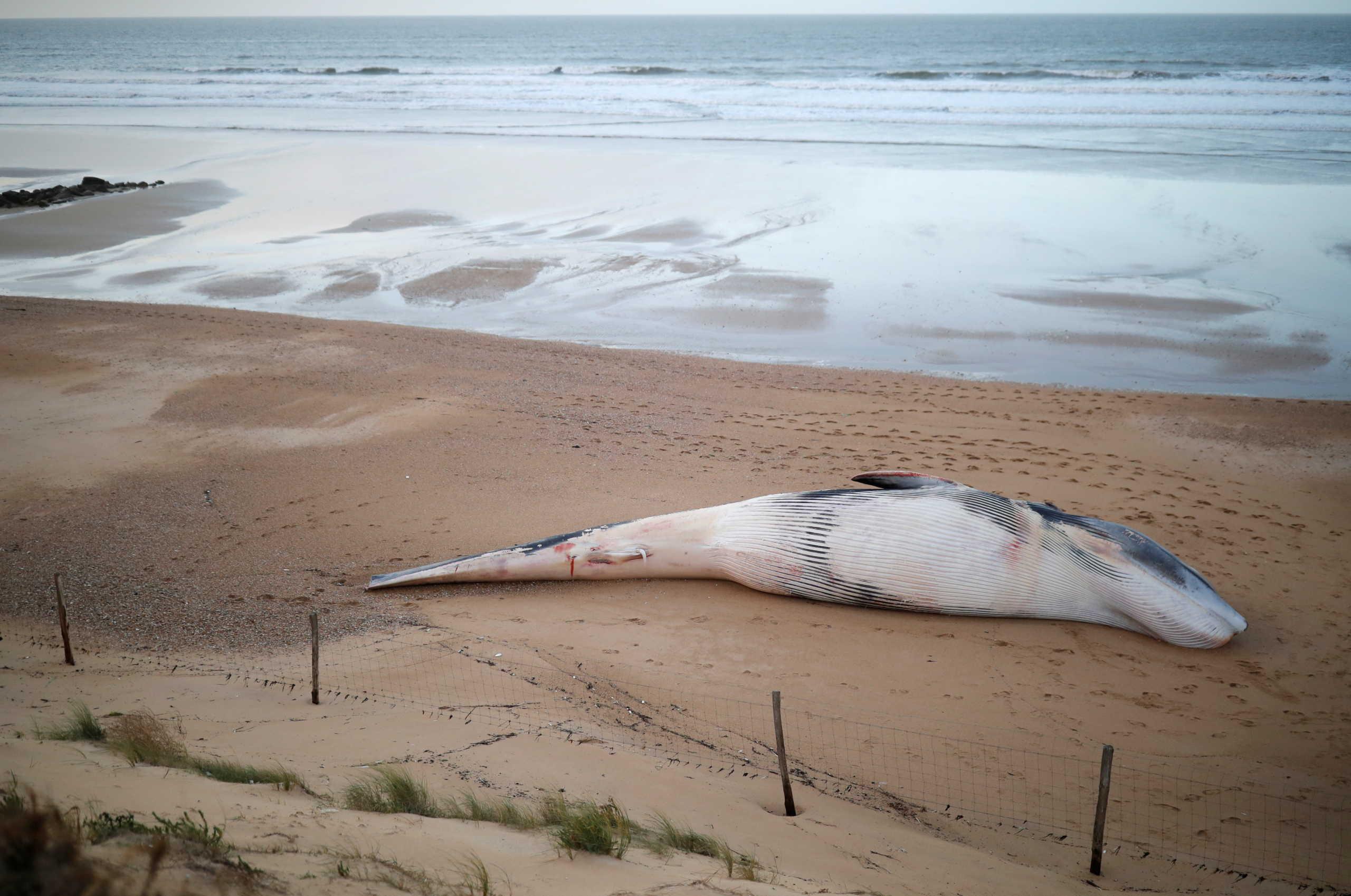 Νέα Ζηλανδία: Δεκάδες φάλαινες-πιλότοι ξεβράστηκαν σε ακτή – Τουλάχιστον 9 νεκρές