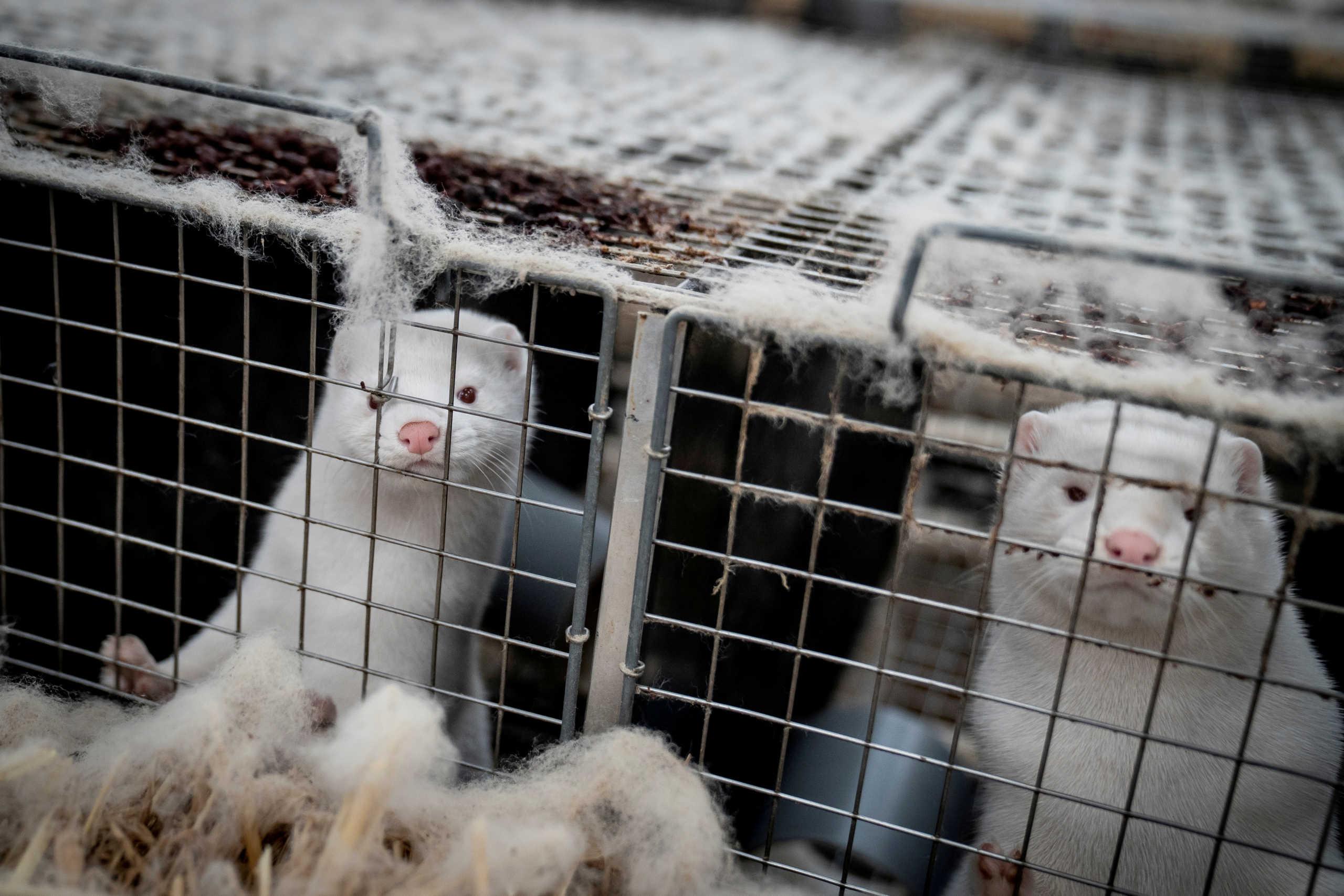 Δανία: Τέλος η εκτροφή βιζόν μέχρι το 2022