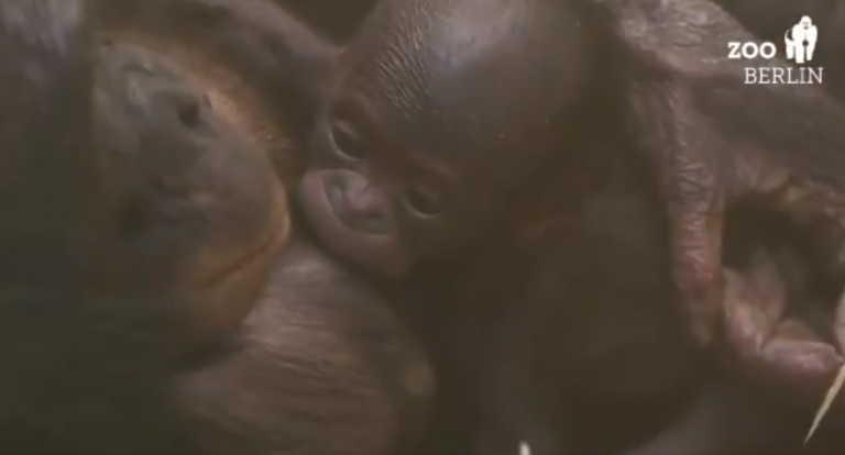 """""""Πολύτιμη"""" βαφτίστηκε σπάνιος θηλυκός χιμπατζής μπονόμπο, είδος που απειλείται με εξαφάνιση (video)"""