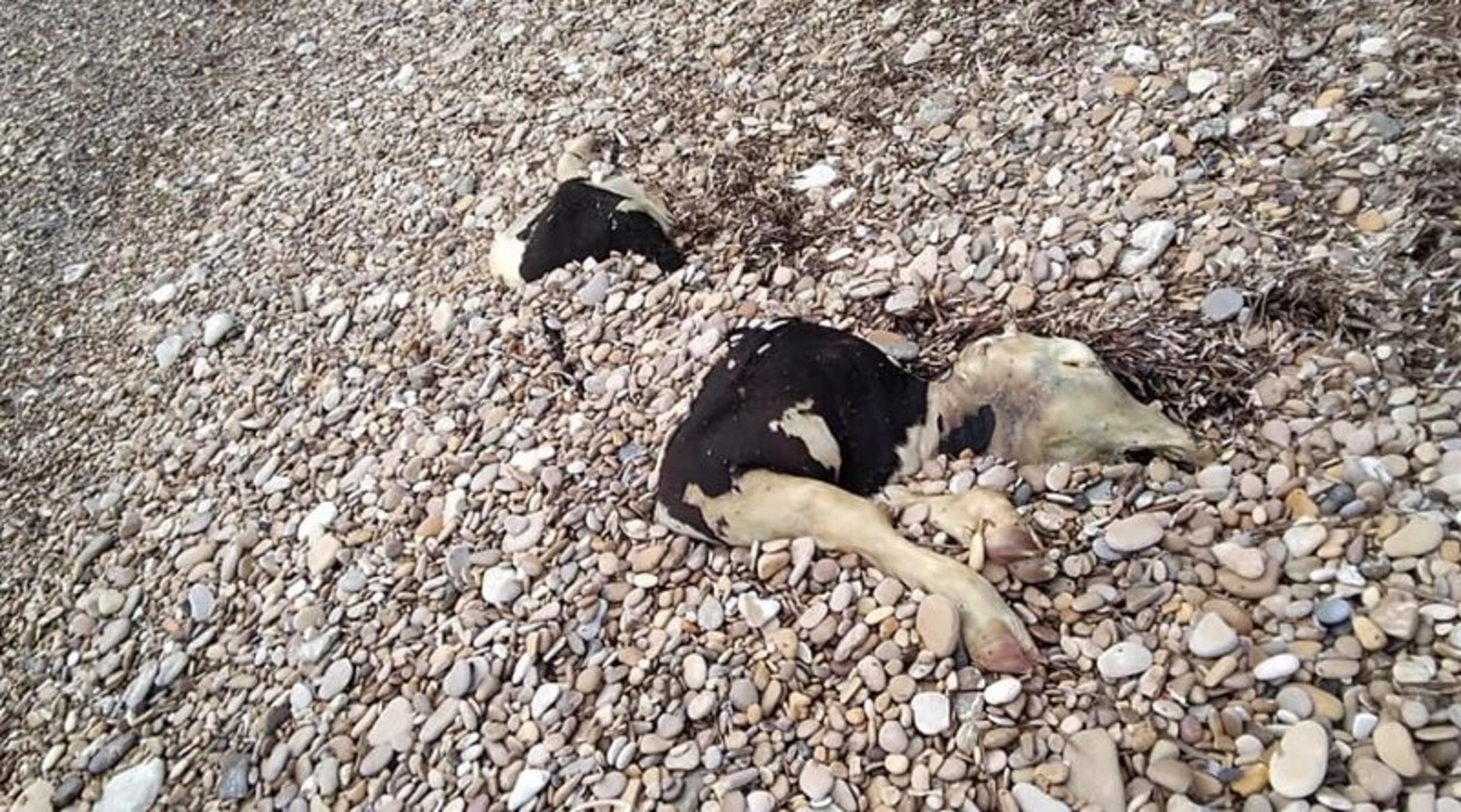 Χίος: Νεκρή αγελάδα ξεβράστηκε σε παραλία – Εικόνα που σοκάρει
