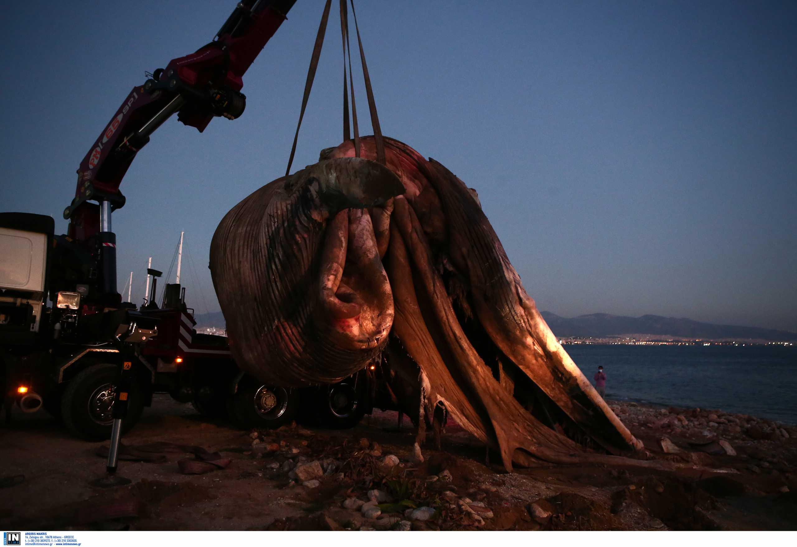 Τι προβλέπεται να γίνει με τη φάλαινα που βρέθηκε στον Πειραιά (pics)