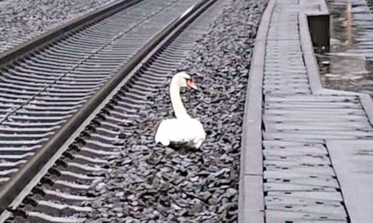 Κύκνος δεν έφευγε από τις γραμμές του τρένου επειδή θρηνούσε το ταίρι του (pic)