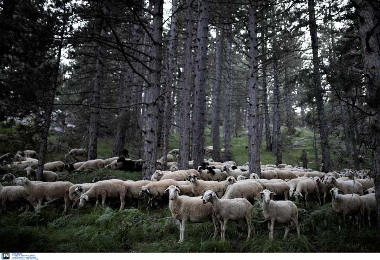 Έρχονται πρόστιμα για τους ιδιοκτήτες ζώων που προκαλούν αγροτικές φθορές