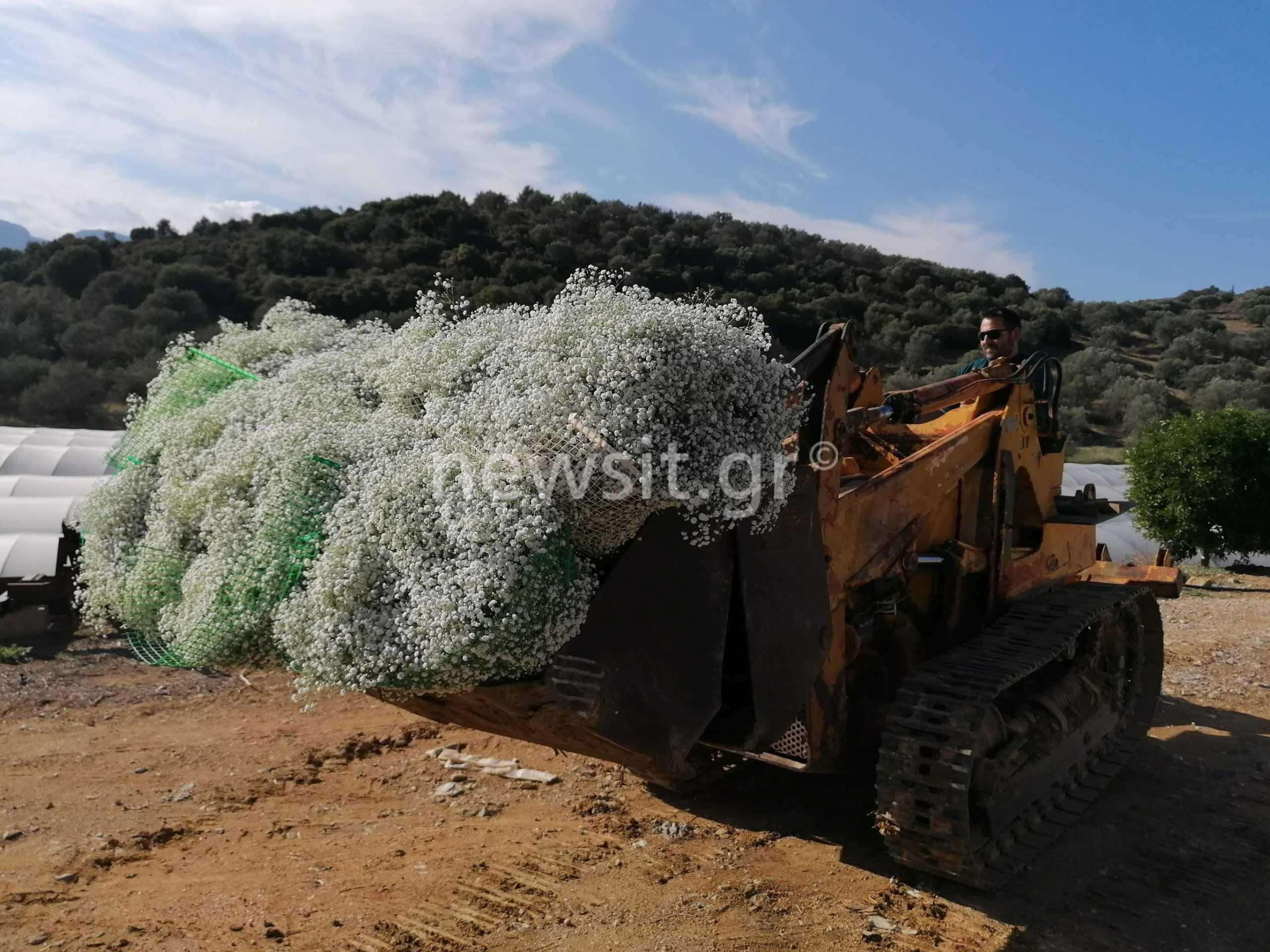 Κραυγή απόγνωσης: Ο κορονοϊός «σκοτώνει» και τα λουλούδια – Στα σκουπίδια το 80% της παραγωγής!