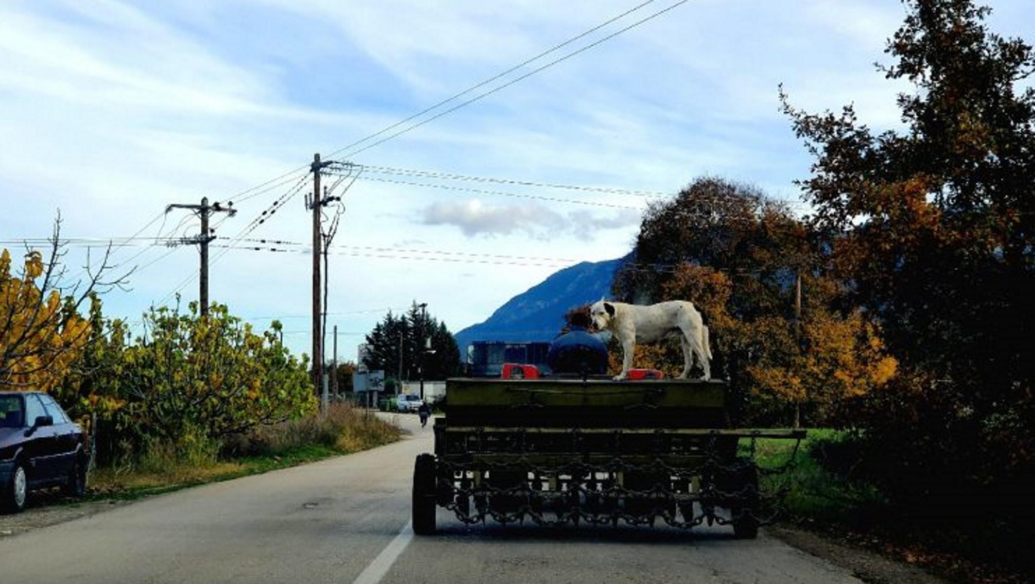 Φθιώτιδα: Μια σκυλίσια μέρα στη δουλειά – Κλέβει τις εντυπώσεις ο σκύλος «αγρότης» (pics)