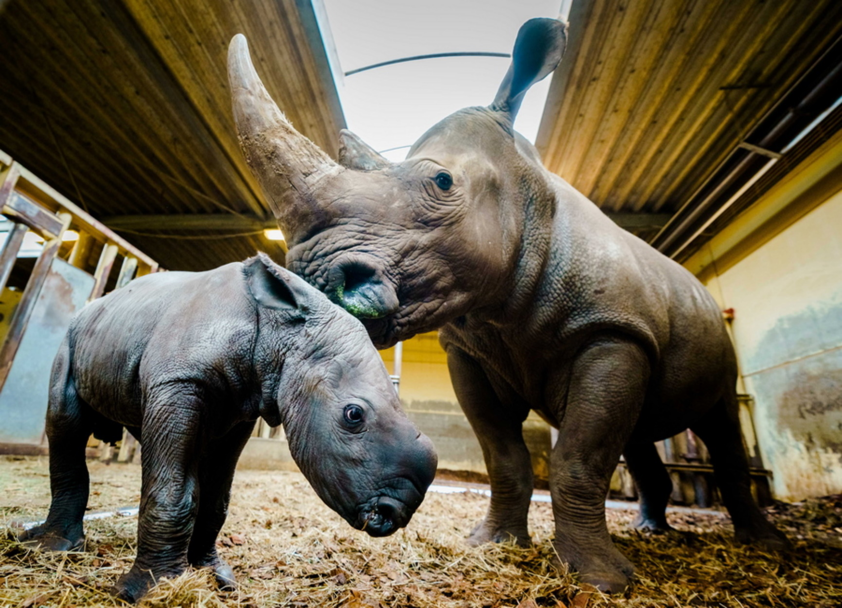 Σουδάν, ο τελευταίος αρσενικός βόρειος λευκός ρινόκερος