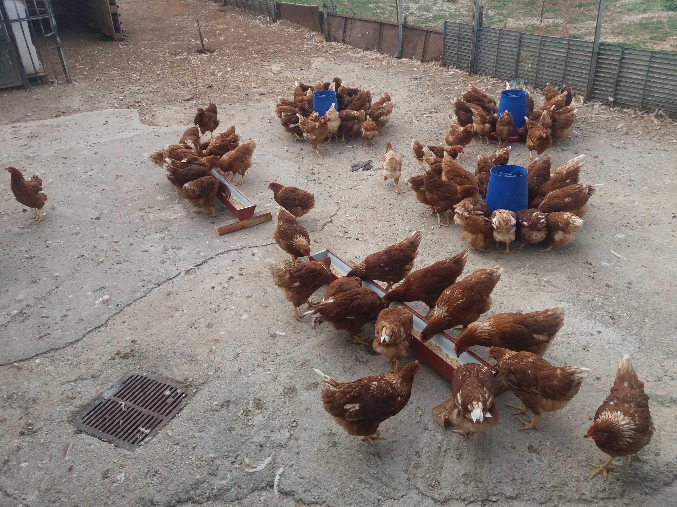 Σέρρες: Αυτές είναι οι κότες που γεννούν τα ποιοτικότερα αυγά – Η καινοτομία στην τροφή τους (pics)