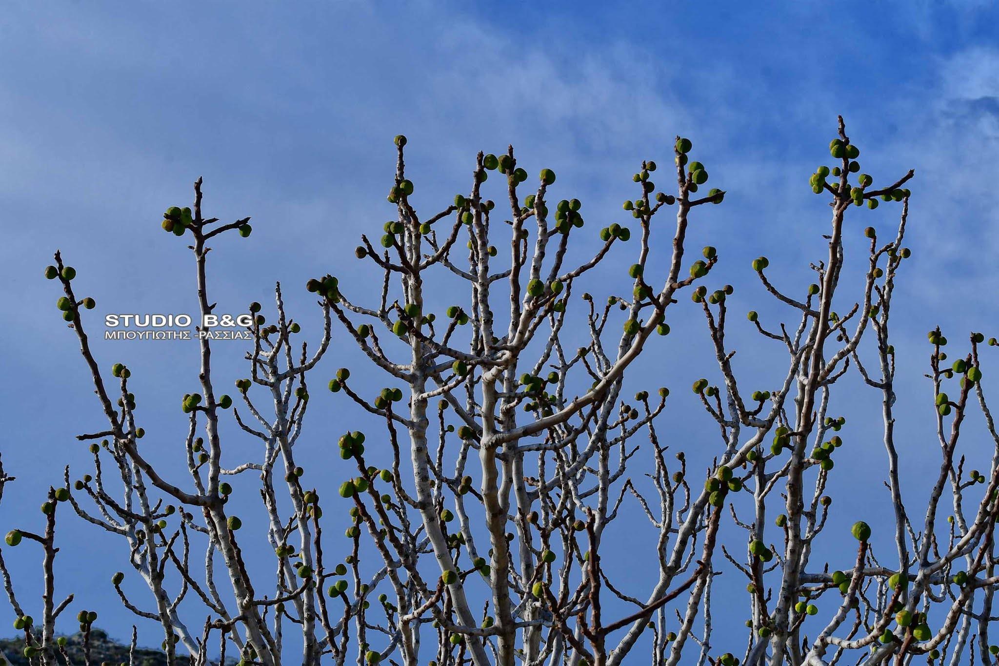 Αργολίδα: Απίστευτες εικόνες στο Ναύπλιο – Βγήκαν σύκα στην καρδιά του χειμώνα (Φωτό)