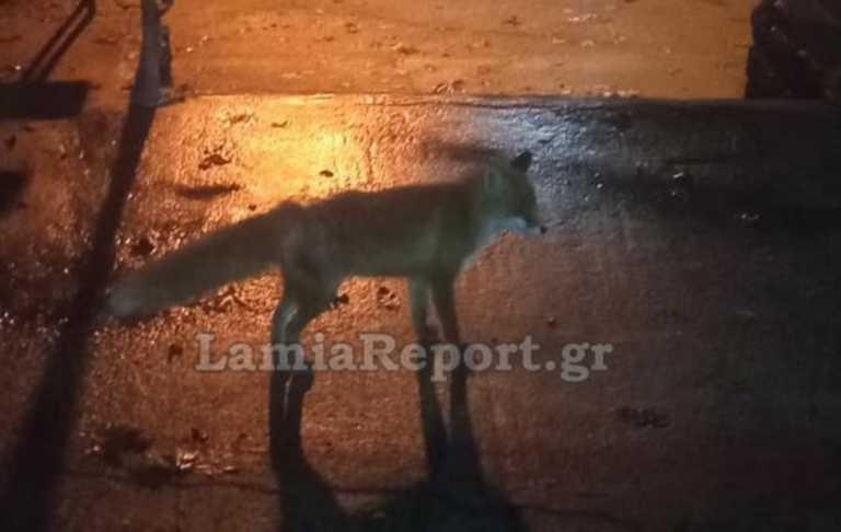 Κτηνωδία στη Φθιώτιδα: Σκότωσε τη μικρή αλεπού που τάιζαν οι συγχωριανοί του