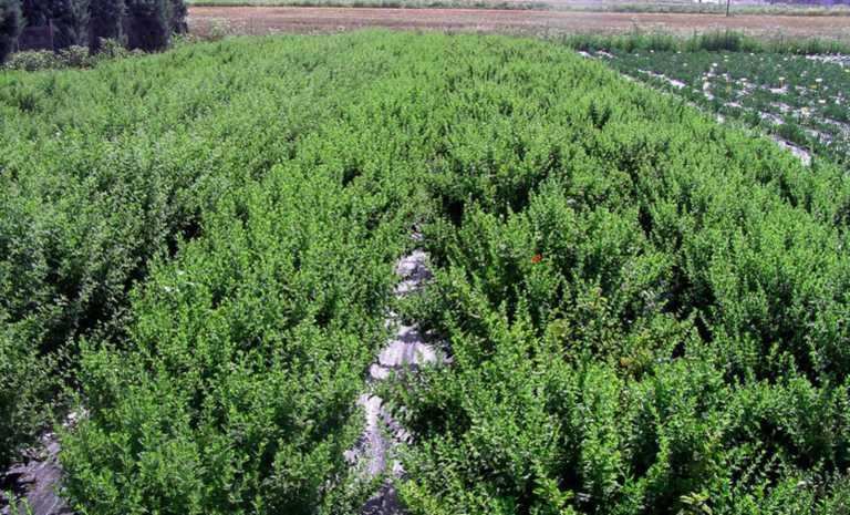 Τρία ελληνικά βότανα μπορεί να καταπολεμούν τα συμπτώματα της νόσου Covid-19
