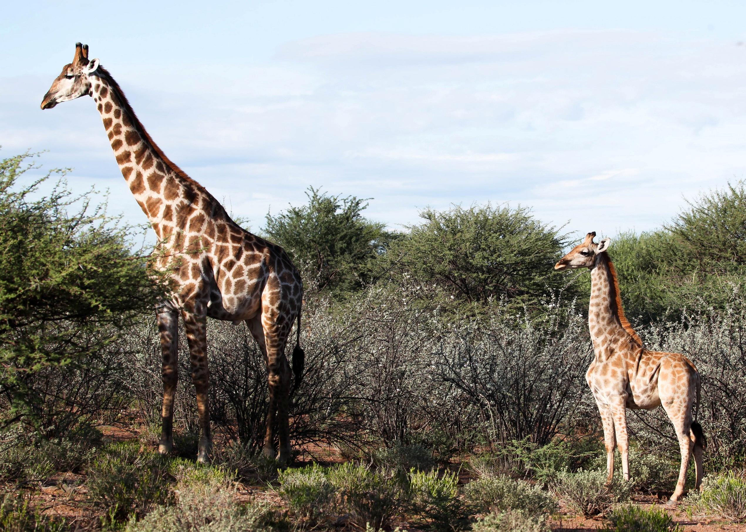 Και όμως υπάρχουν καμηλοπαρδάλεις «νάνοι» – Βρέθηκαν σε Ναμίμπια και Ουγκάντα