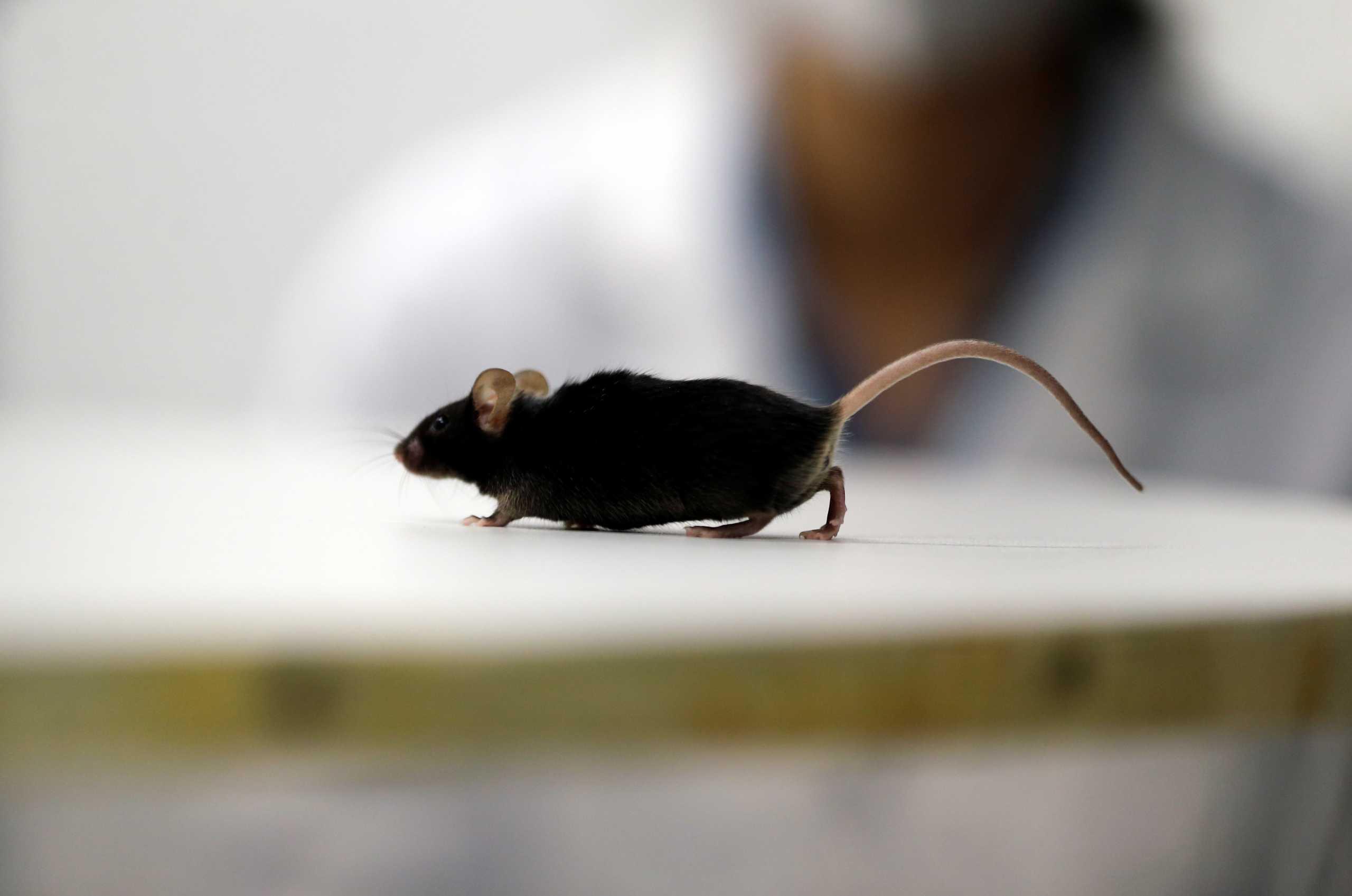 Παράλυτα ποντίκια περπάτησαν χάρη σε πρωτοποριακή θεραπεία