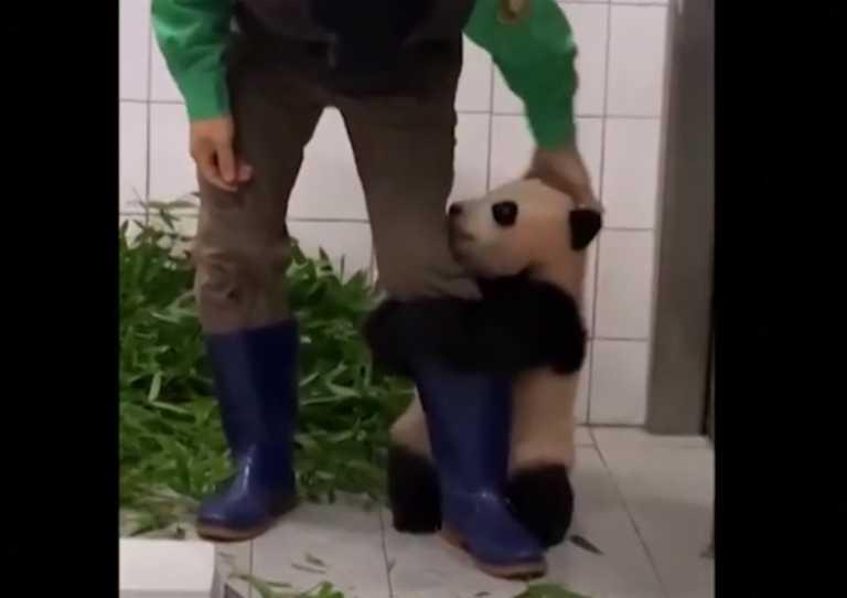 Αξιολάτρευτο μωρό πάντα δεν ξεκολλά από το πόδι επιστάτη και το ίντερνετ… «λιώνει» (video)