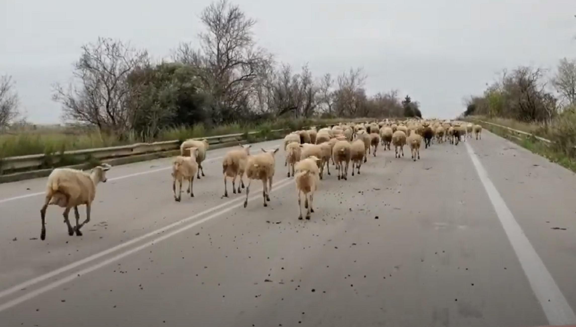 Ηλεία: Οδηγούσε στην εθνική οδό και έπεσε πάνω σε αυτές τις εικόνες – Δείτε τις απίθανες σκηνές (video)