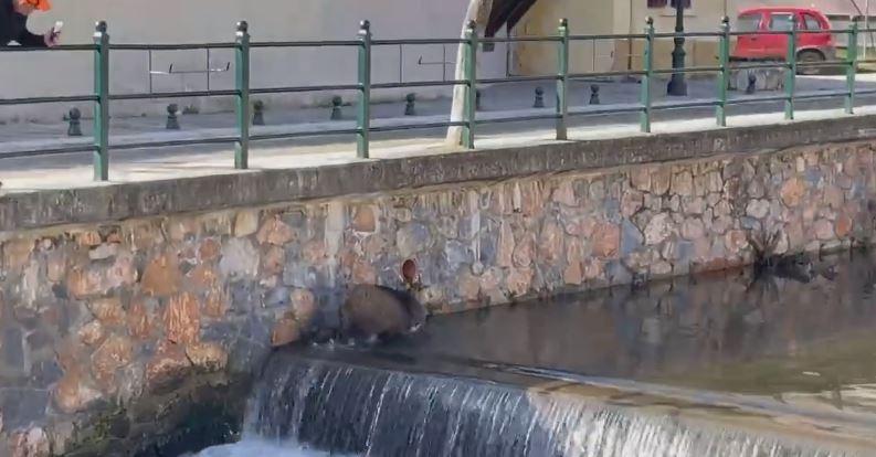 Φλώρινα: Δείτε το βίντεο της ημέρας με αγριογούρουνο να πηγαίνει «σφαίρα» μέσα σε ποτάμι