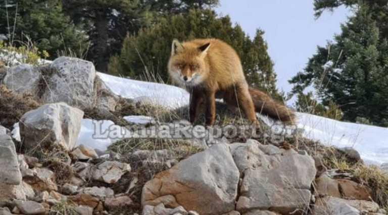 Παρνασσός: Αλεπού «ποζάρει» όλο χάρη – Τύφλα να 'χει η Κιμ Καρντάσιαν (pics, video)