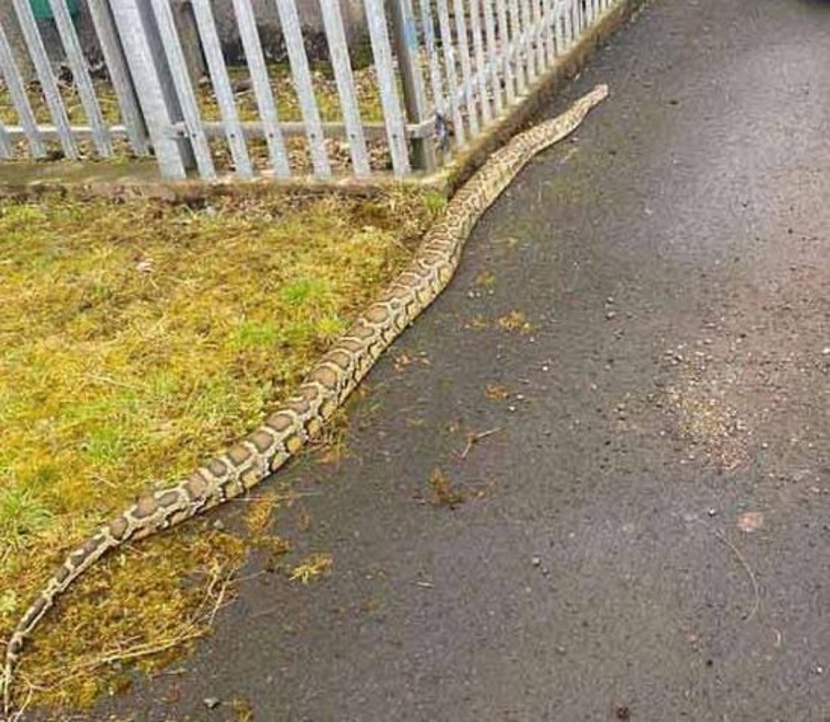 Τρόμος στη Σκωτία: Γιγάντια φίδια κόβουν βόλτες σε πολυσύχναστους δρόμους (pics, vid)