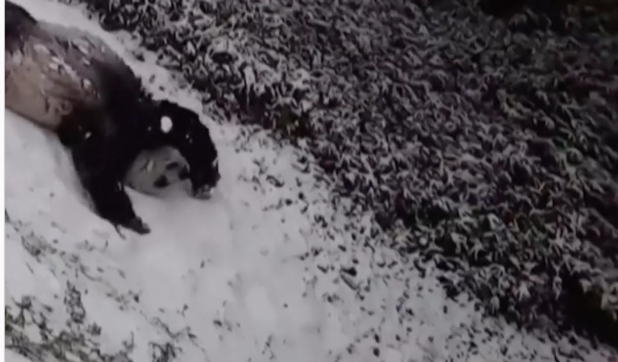 Τα γιγαντιαία πάντα που κλέβουν καρδιές με τα παιχνίδια τους στο χιόνι