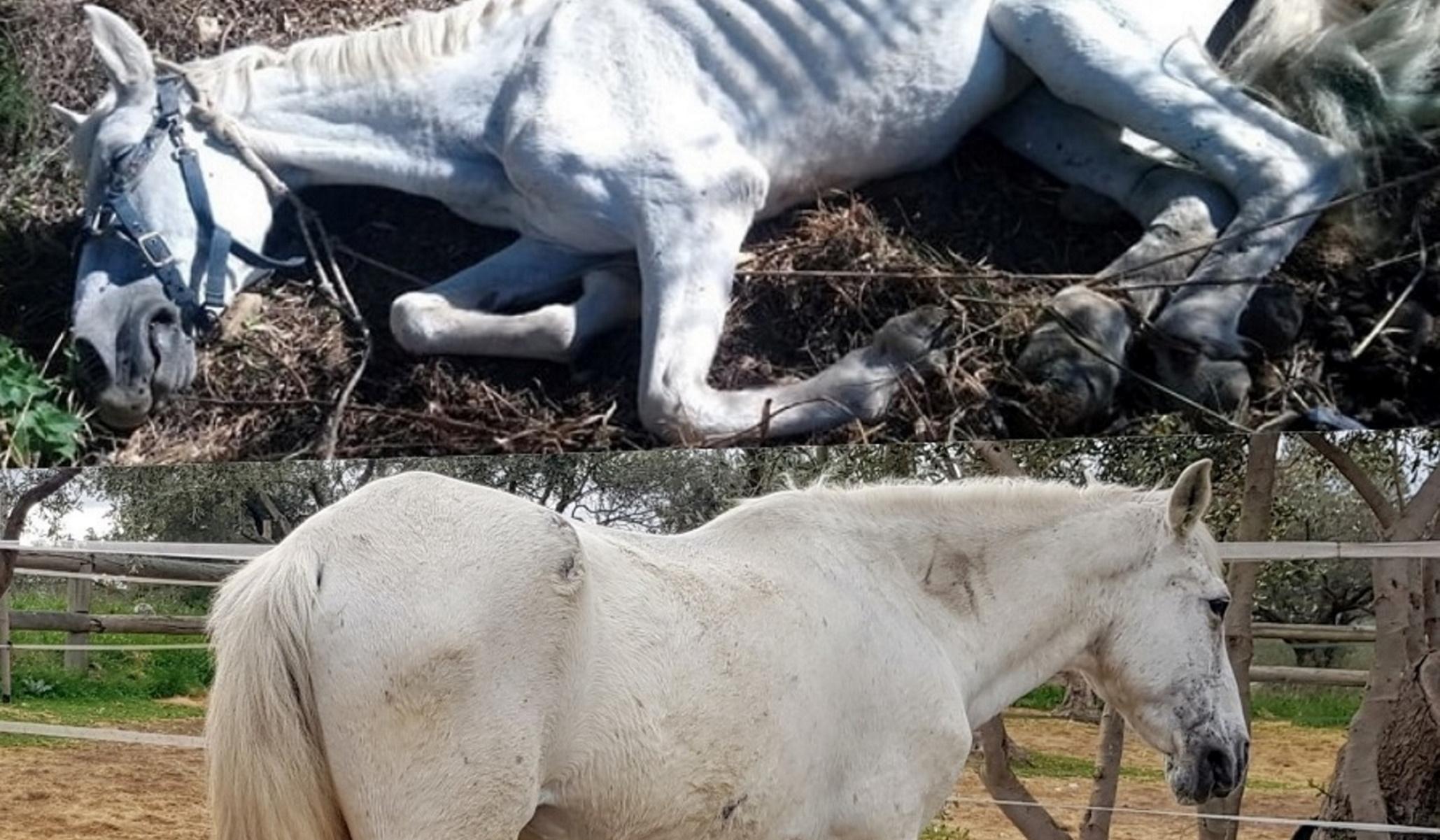 Μεσσηνία: Η θεαματική μεταμόρφωση της Ιόλης – Πώς είναι σήμερα το αποστεωμένο άλογο (pics)