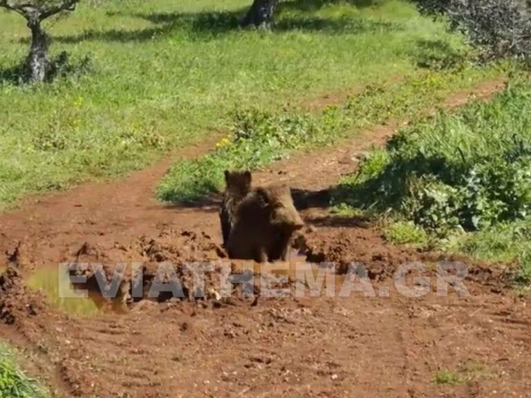 Βοιωτία: Σπάνιο θέαμα με μικρά αγριογούρουνα να… μπανιαρίζονται σε λακκούβα λάσπης (video)