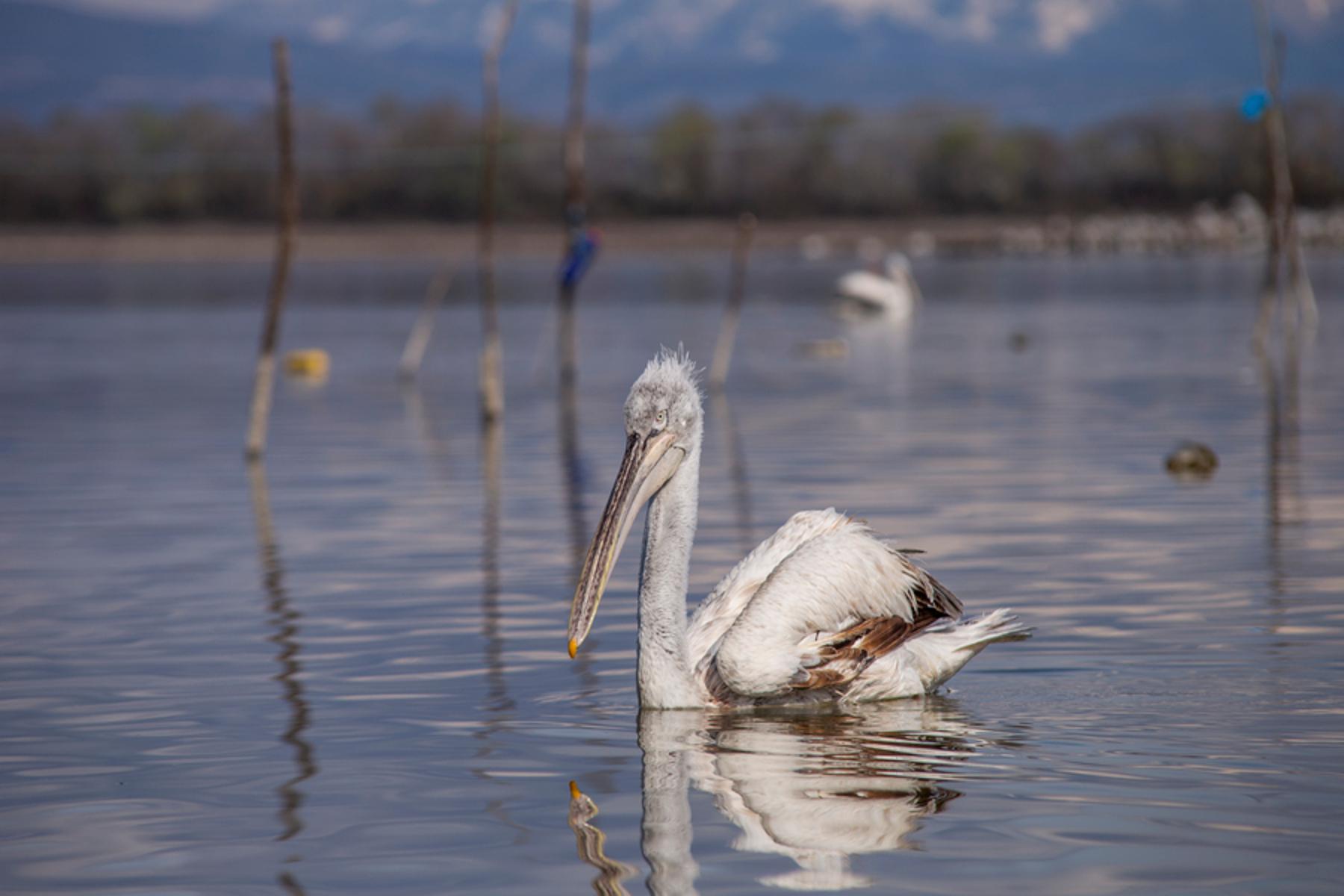 Λίμνη Κερκίνη: Εντοπίστηκε η γρίπη των πτηνών σε τρεις αργυροπελεκάνους που βρέθηκαν νεκροί