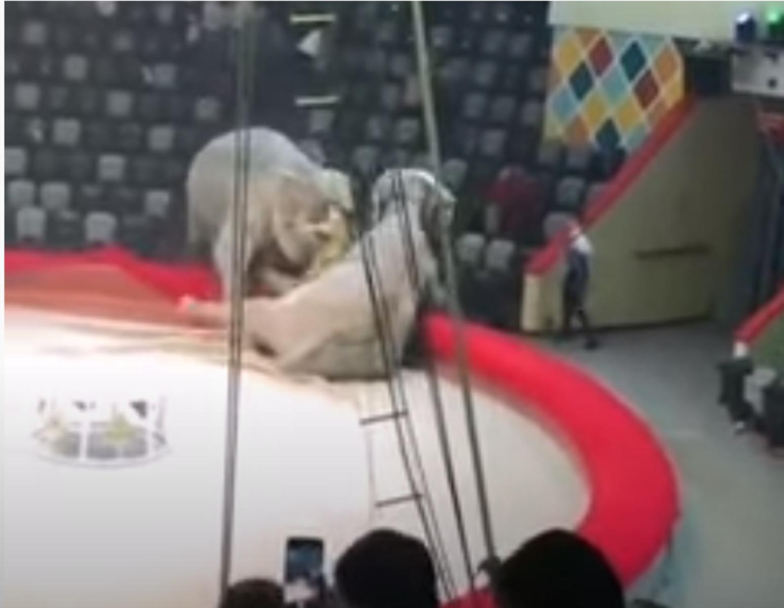 Πανικός σε τσίρκο: Άγριος καβγάς ελεφάντων – Τρόμος για τους θεατές (video)