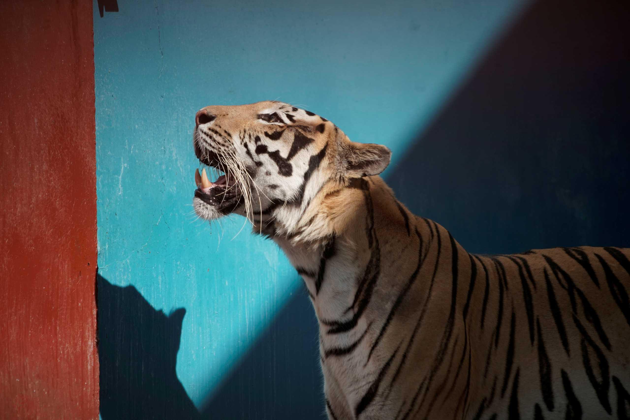 Κίνα: Μια τίγρης προκάλεσε πανικό σε ένα ολόκληρο χωριό στα σύνορα με τη Ρωσία
