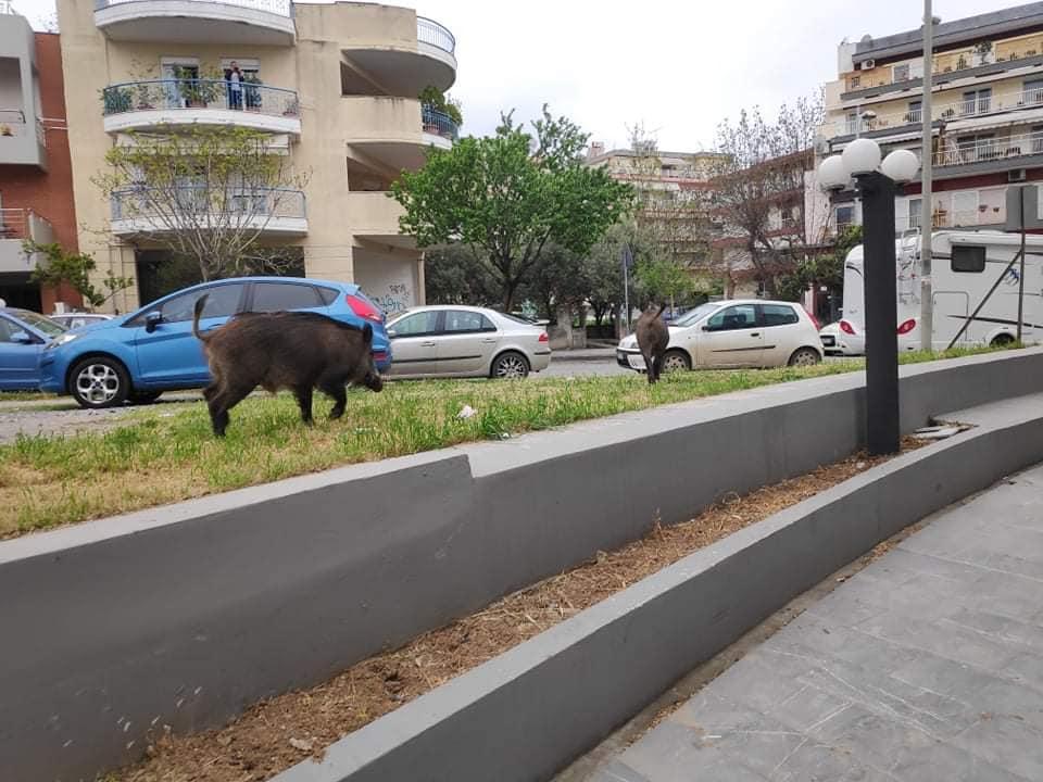 Θεσσαλονίκη: Αγριογούρουνα κατέβηκαν στην πόλη και όρμησαν σε γνωστό μεζεδοπωλείο (pics)