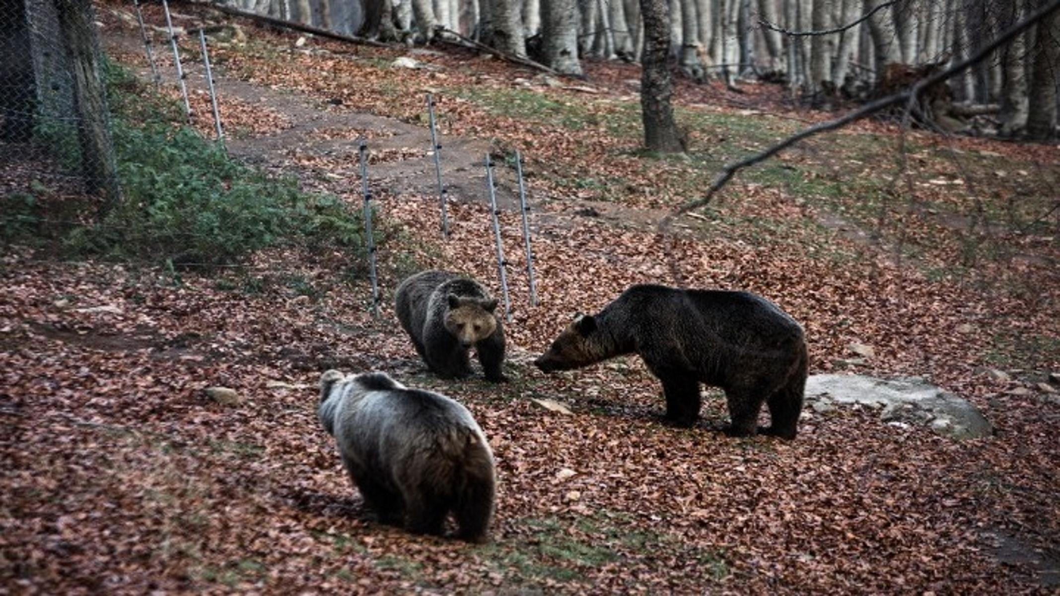 Καστοριά: Αρκούδα με τα αρκουδάκια της κόβουν βόλτες έξω από ξενοδοχείο (video)
