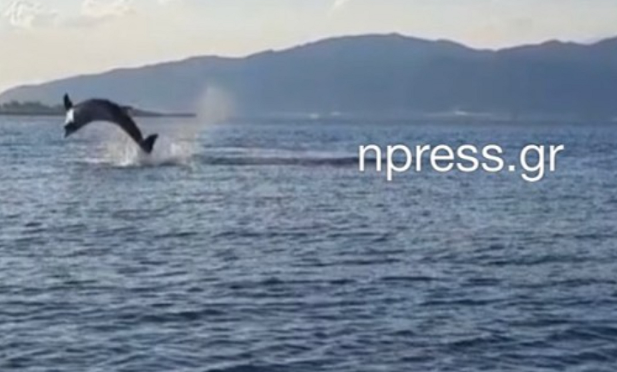 Ναύπακτος: Τα δελφίνια έδωσαν μια εκπληκτική παράσταση κοντά στη στεριά (video)