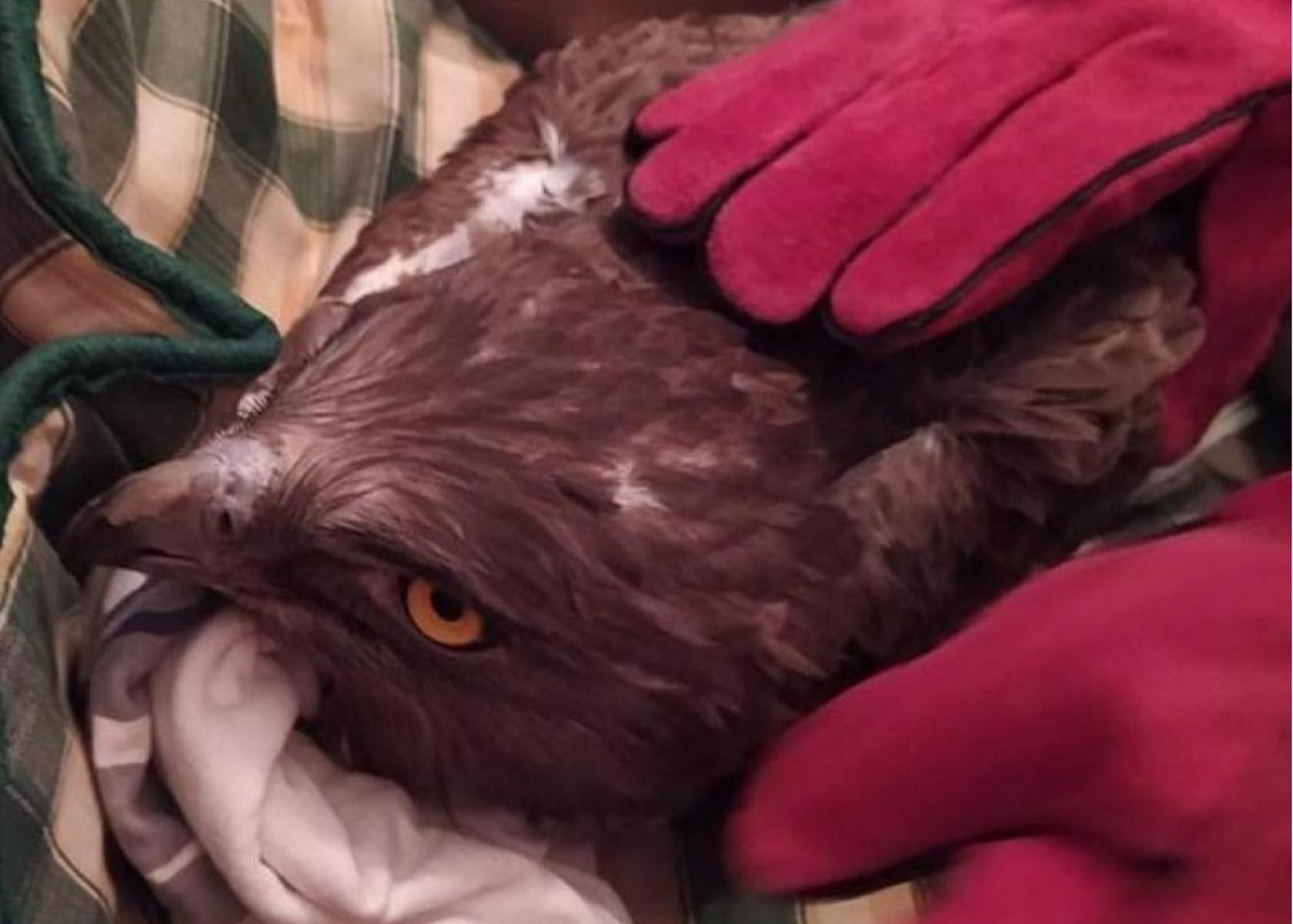 Μυτιλήνη: Σπάνιος φιδαετός βρέθηκε πληγωμένος – Καρέ καρέ η διάσωση του αρπακτικού (pics)