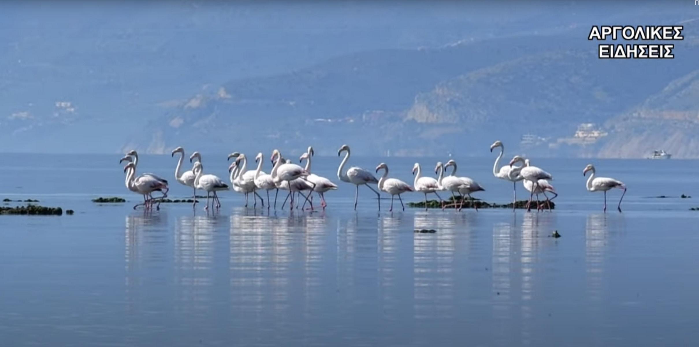 «Επέλαση» από ροζ φλαμίνγκο στο Ναύπλιο – Μαγικά πλάνα